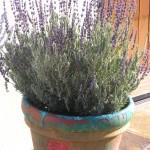 lavender-ojai-web3